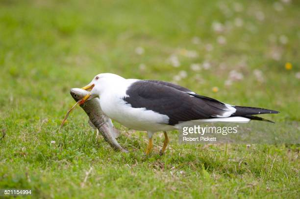 Great Black Backed Gull, Larus marinus, Kangasala, Finland