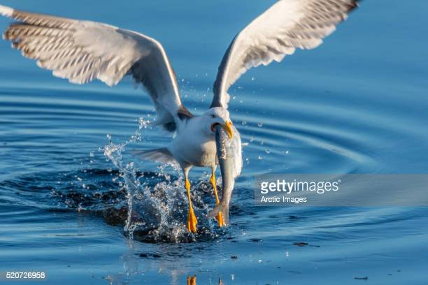Great Black backed Seagull with a herring, Iceland