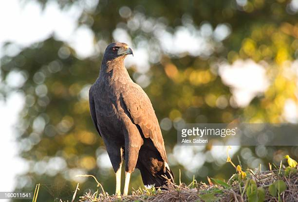 a great black hawk, buteogallus urubitinga, in the evening light. - alex saberi stockfoto's en -beelden