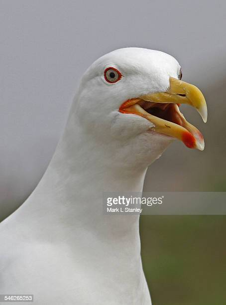 Great Black-Backed Gull 01 - Larus marinus