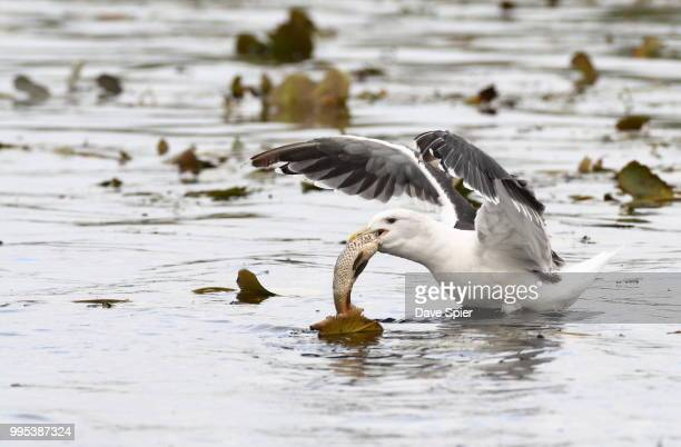 Great Black-backed Gull eating a fish