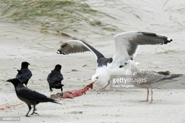 Great black-backed gull (Larus marinus) eats afterbirth of a grey seal on the sandy beach, Island of Dune, Helgoland, Schleswig-Holstein, Germany