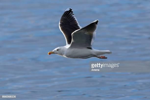 Great blackbacked gull / greater blackbacked gull in flight over sea water in winter
