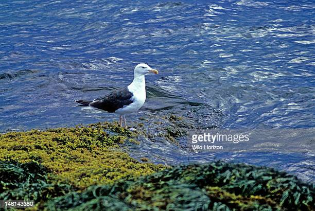 Great blackbacked gull in the rockweed zone at low tide along the New England sea coast Larus marinus This is the largest gull in the family Laridae...