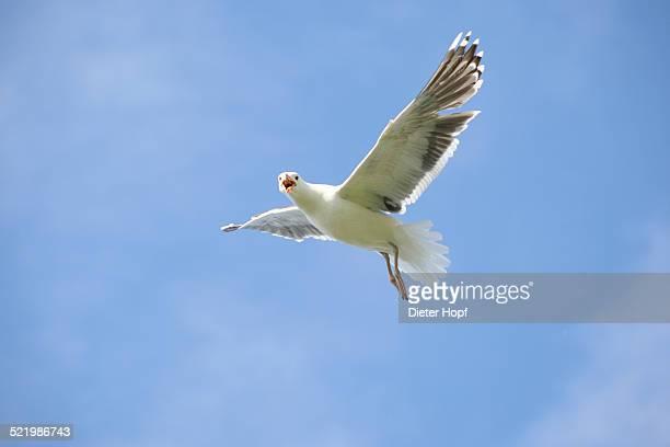 Great black-backed gull -Larus marinus-, flying, blue sky, bird island Hornoya, Varanger, Norway