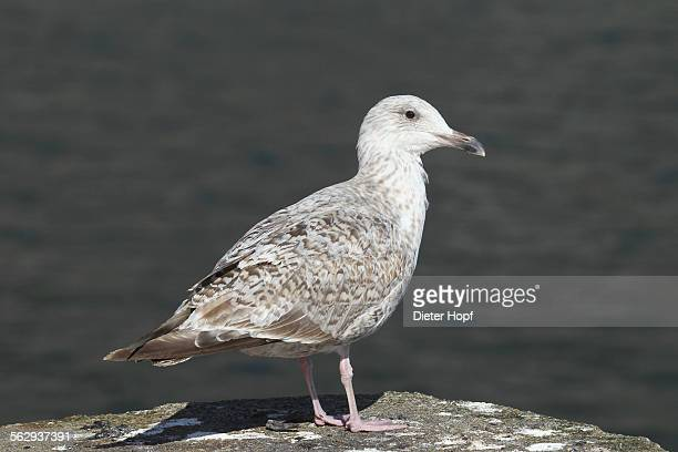 Great black-backed gull -Larus marinus-, young bird, Bird Rock Ekkeroy, Varanger, Norway