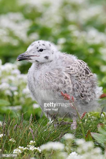 Great black-backed gull -Larus marinus-, young bird not yet fledged, Bird Island Hornoya, Varanger, Norway