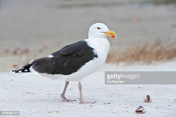 Great Black-backed Gull on Gulf Coast Beach