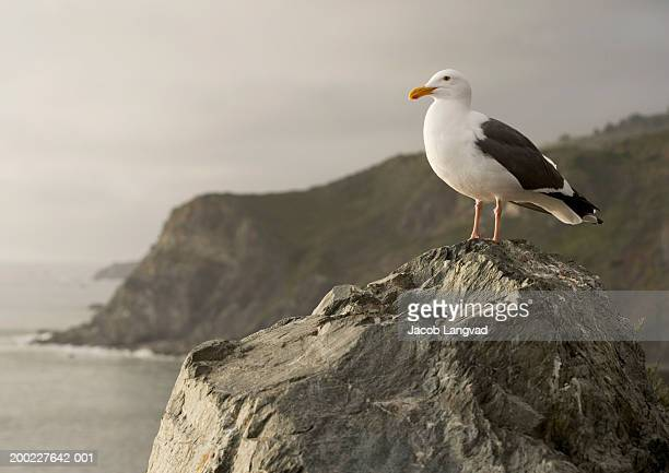 Great black-backed gull standing on rock, close-up