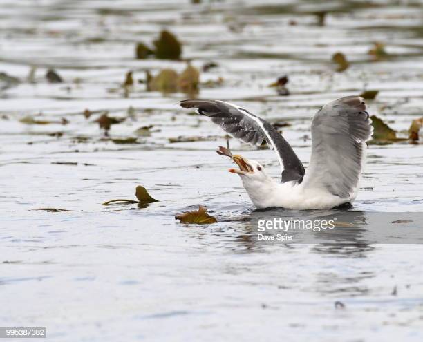 Great Black-backed Gull swallowing a fish