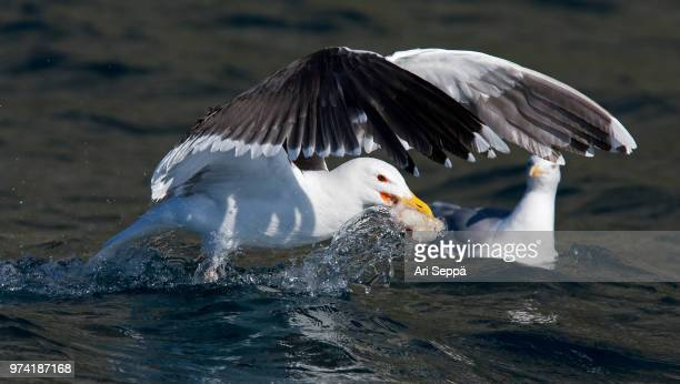Great Black-backed Gull with Prey