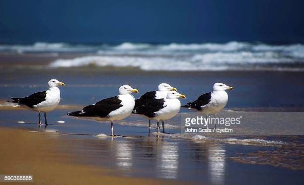 Great Black-Backed Gulls On Shore At Beach
