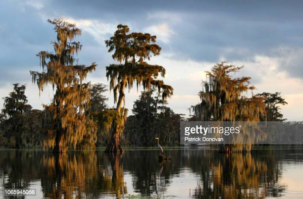 great blue heron and cypresses, lake martin, louisiana - south stock pictures, royalty-free photos & images