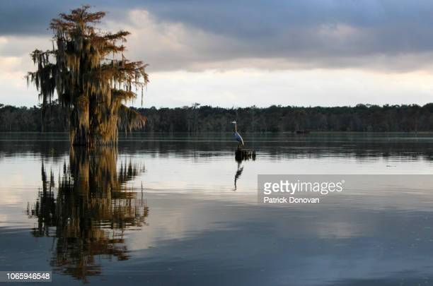 great blue heron and cypresses, lake martin, louisiana - louisiana stock pictures, royalty-free photos & images