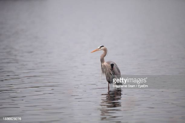 great blue heron ardea herodias in the wetland and marsh at the myakka river state park in sarasota - florida us state stock pictures, royalty-free photos & images