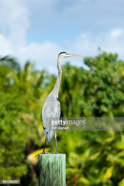 Great Blue Heron Ardea herodias one of the large wading herons standing on post as vantage point Captiva Island Florida USA