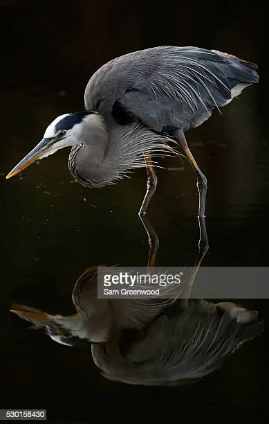 Great blue heron as seen during a practice round prior to the start of THE PLAYERS Championship on the TPC Stadium course on May 10, 2016 in Ponte...