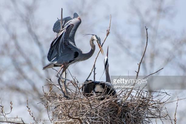グレートブルーヘロンは、巣の建物と交配の春の活性化に関与する巣にスティックをもたらします - 水鳥 ストックフォトと画像