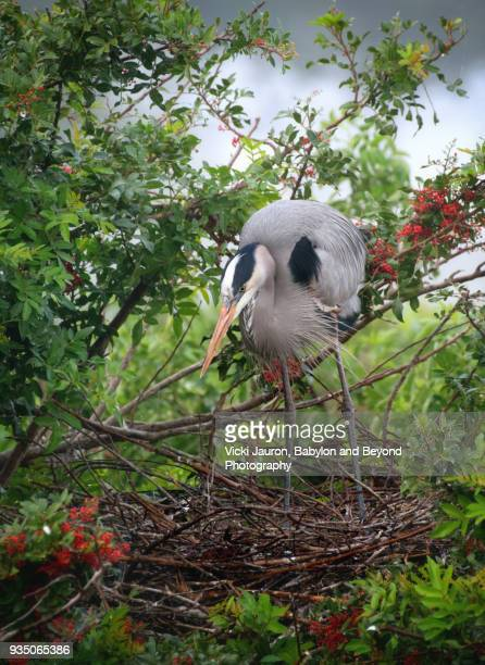 Great Blue Heron Building Nest at Venice Rookery