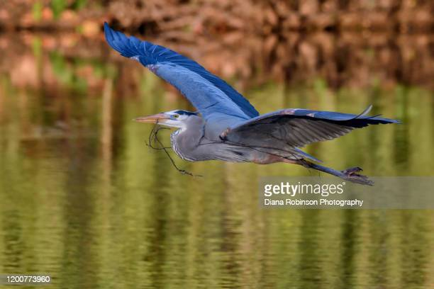 great blue heron carrying nesting material back to his nest at the venice rookery, venice, florida - rookery stock pictures, royalty-free photos & images