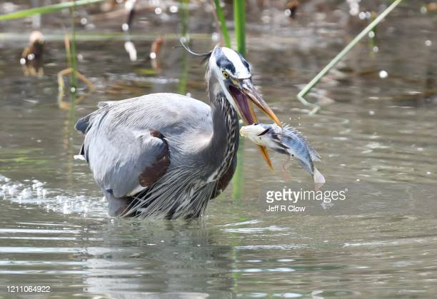 great blue heron catching a tilapia fish - south padre island stock pictures, royalty-free photos & images