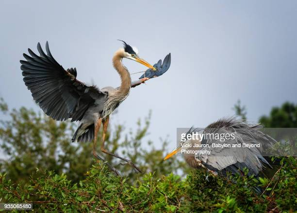 Great Blue Heron Couple on Nest at Venice Rookery