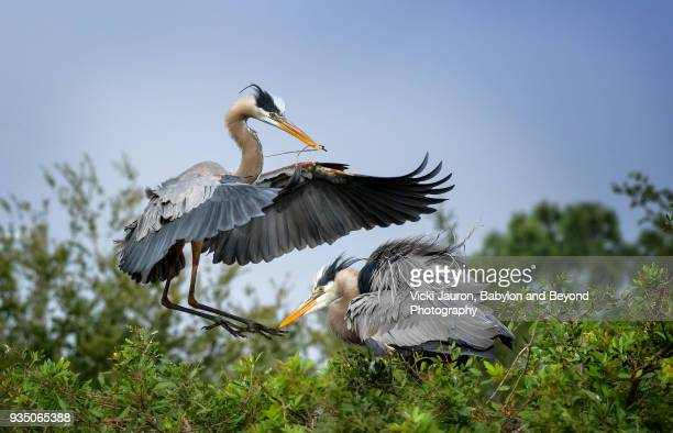 Great Blue Heron Couple on Nest