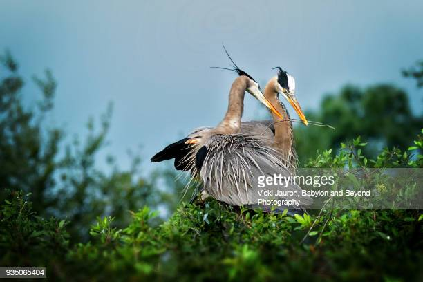 Great Blue Heron Couple Working Together to Build Nest