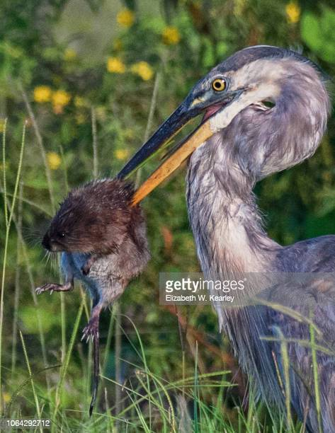 great blue heron eating a muskrat - muskrat stock photos and pictures