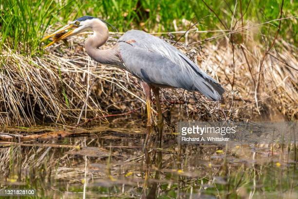 great blue heron feeds on a sunfish - sunfish stock pictures, royalty-free photos & images