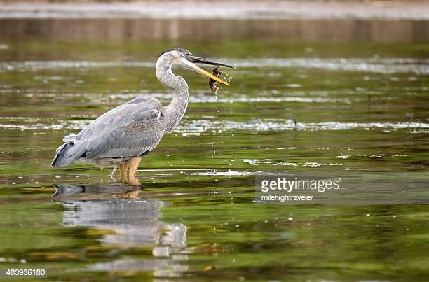 Great blue heron flips crawdad through air into beak Colorado