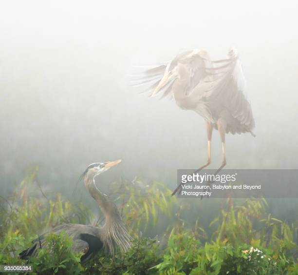 Great Blue Heron Flying in Mist at Venice Rookery