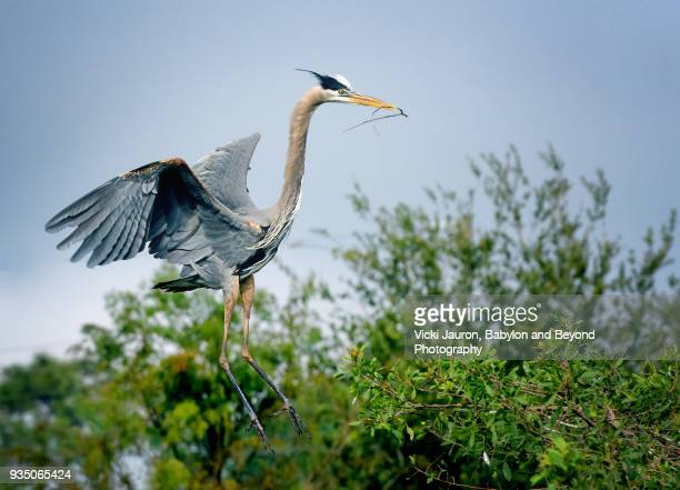 Great Blue Heron Flying In With Nesting Material at Venice Rookery