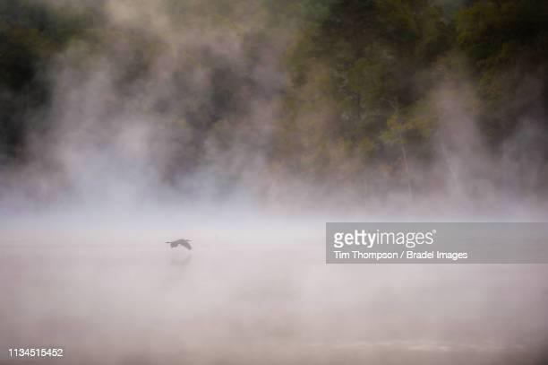great blue heron flying - 蒸気 ストックフォトと画像