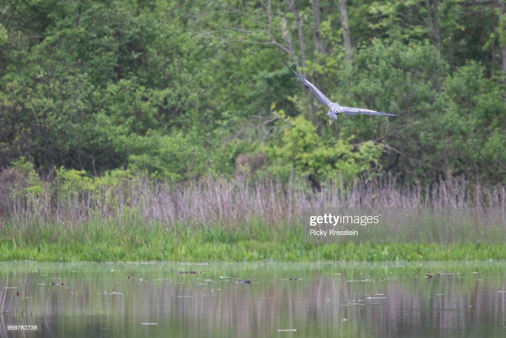Great Blue Heron Flying : Stock-Foto