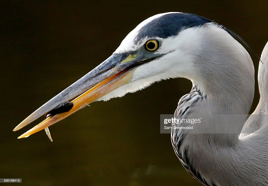 A great blue heron grabs a fish during a practice round prior to the start of THE PLAYERS Championship on the TPC Stadium course on May 10, 2016 in Ponte Vedra Beach, Florida.