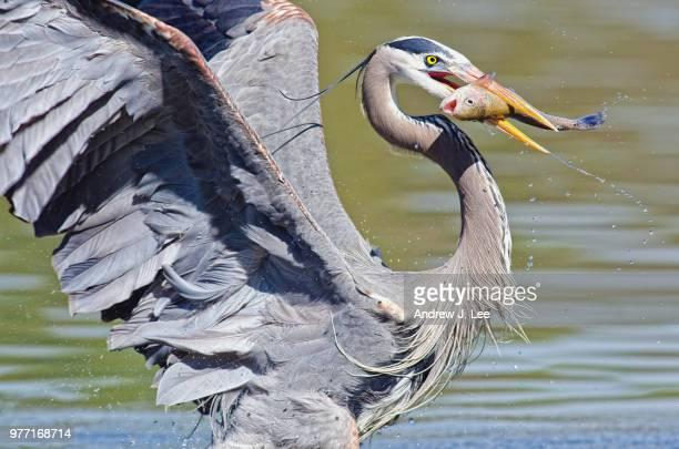 great blue heron (ardea herodias) hunting, el dorado park, california, usa - dorado fish stock photos and pictures