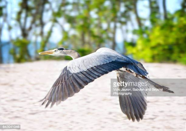 great blue heron in flight at fort myers beach, florida - fort myers beach stock photos and pictures