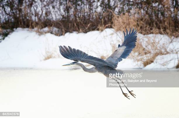 Great Blue Heron in Flight Over Frozen Lake on Long Island, NY