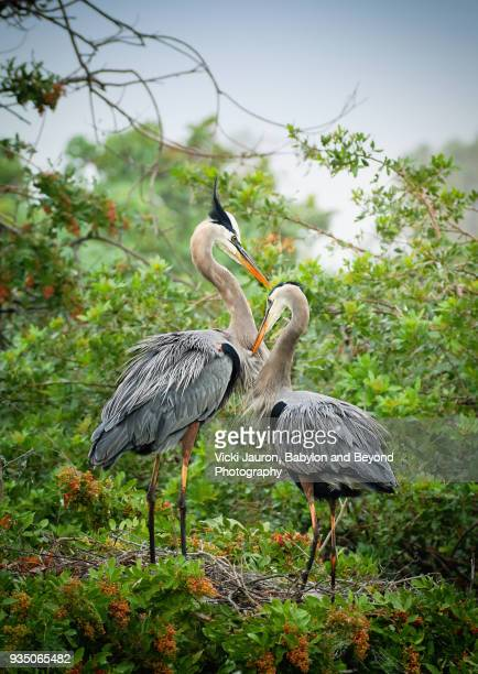 Great Blue Heron in Love at the Venice Rookery