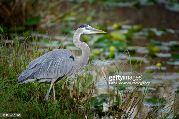 great blue heron in the marsh near the anhinga trail, everglades national park, florida, usa - anhinga_trail stock pictures, royalty-free photos & images