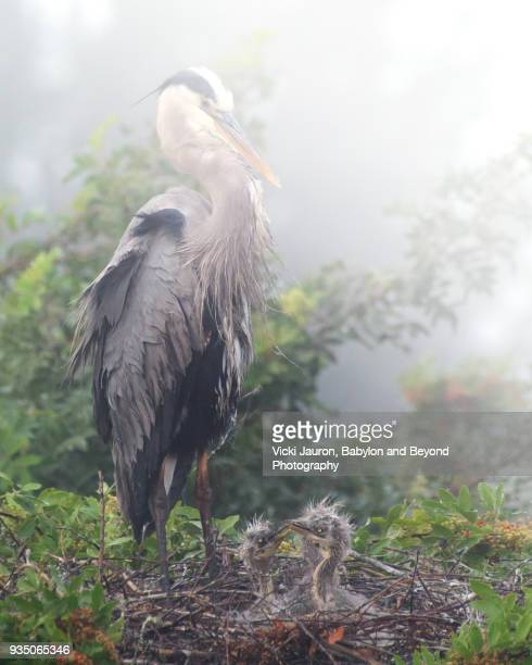 Great Blue Heron Mother and Chick at Venice Rookery