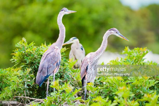 great blue heron next - rookery stock pictures, royalty-free photos & images