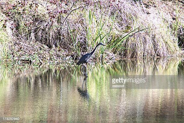 Great Blue Heron on Bedias Lake