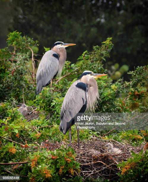 Great Blue Heron on Nest with Chicks