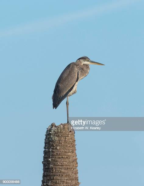 Great Blue Heron Perched on a Dead Palm Tree