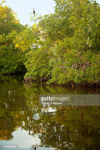 a great blue heron perches on a tree branch above a creek full of tree reflections - timothy hearsum stock pictures, royalty-free photos & images