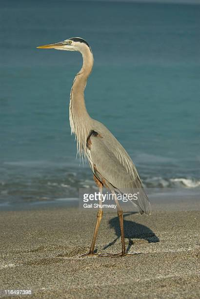 great blue heron - grace gail stock pictures, royalty-free photos & images
