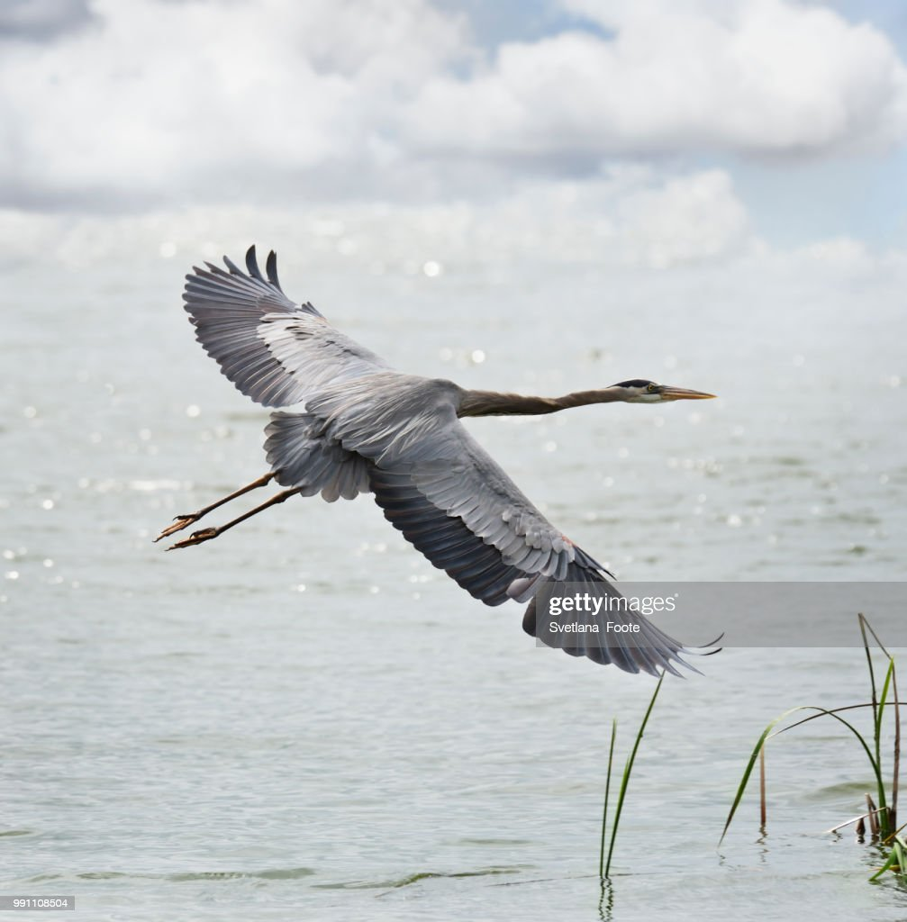 Great Blue Heron : Stock Photo