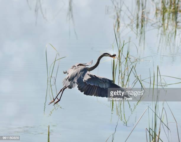 great blue heron - svetlana stock photos and pictures